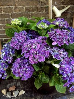 1. Hydrangea macr. Hovaria® 'Hopcorn'
