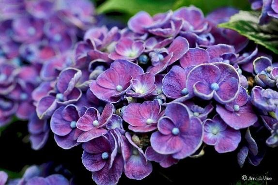 2. Hydrangea macr. Hovaria® 'Hopcorn'