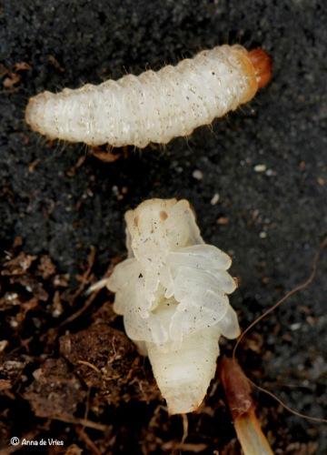 De bovenste is een larve en de onderste is een pop. Bij de pop kan je al goed de vorm van de kever zien