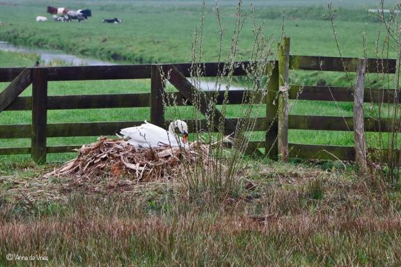 Knobbelzwaan op nest