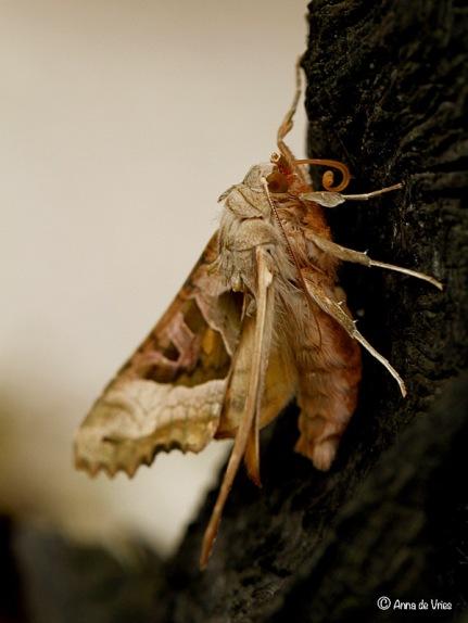 3. Agaatvlinder van de zijkant