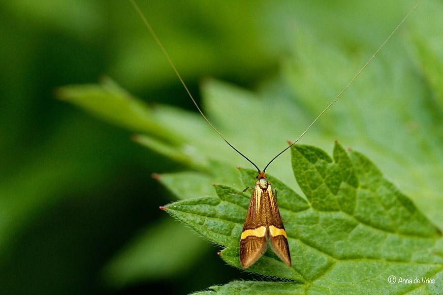 Geelbandlangsprietmot - Nemophora degeerella