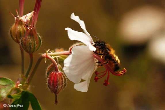 Hier bezoekt ze onze Geranium cantabrigiense 'Biokovo'.