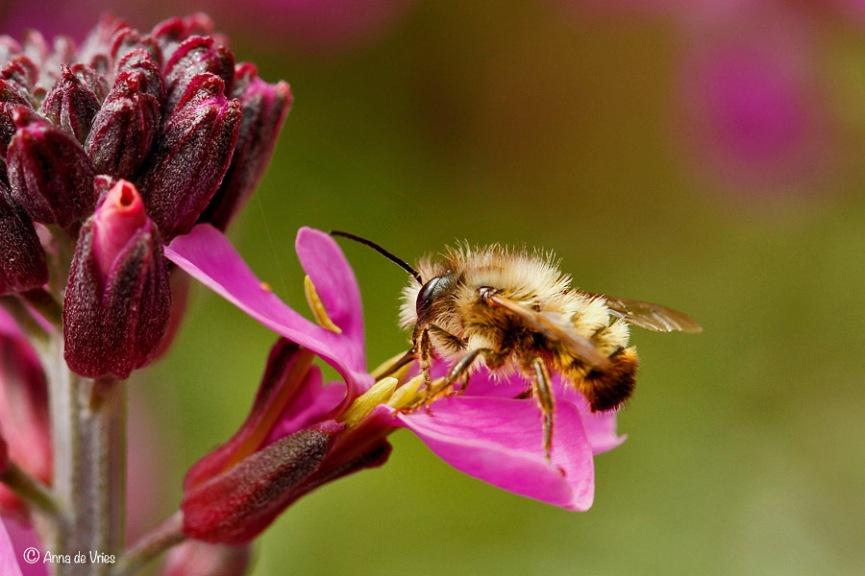 Rosse metselbij - Osmia bicornis ♂