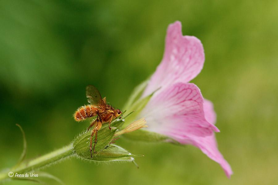 Strontvlieg - Entomophthora