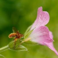 Strontvlieg en Entomophthora