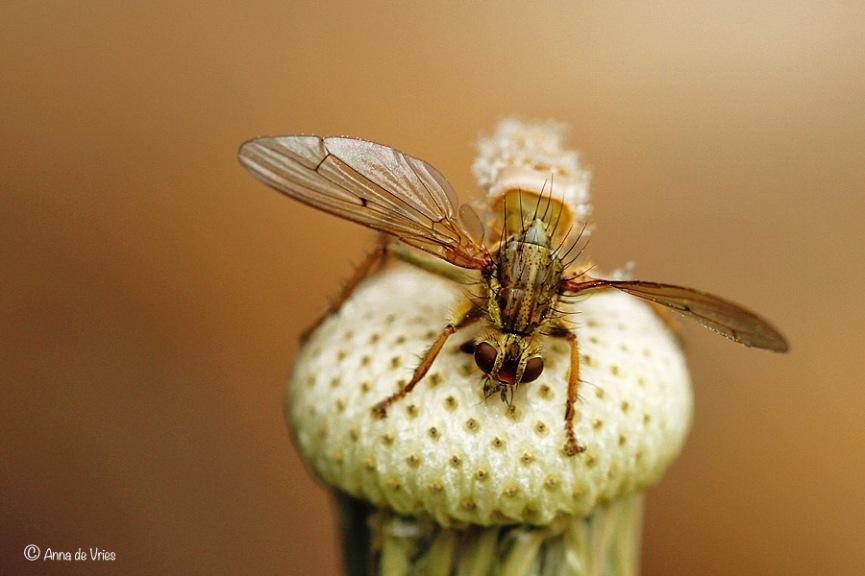 Strontvlieg geïnfecteerd door de schimmel Entomophthora muscae.