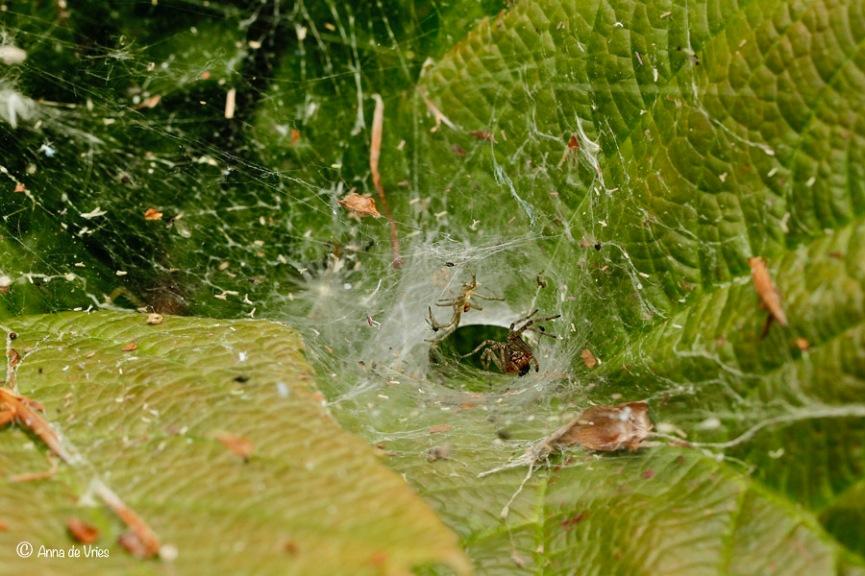 Hier kan je een beetje het web van de Gewone doolhofspin bekijken, het is echt een doolhof van draden.