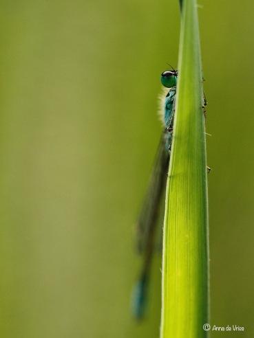 Lantaarntjes - Ischnura elegans