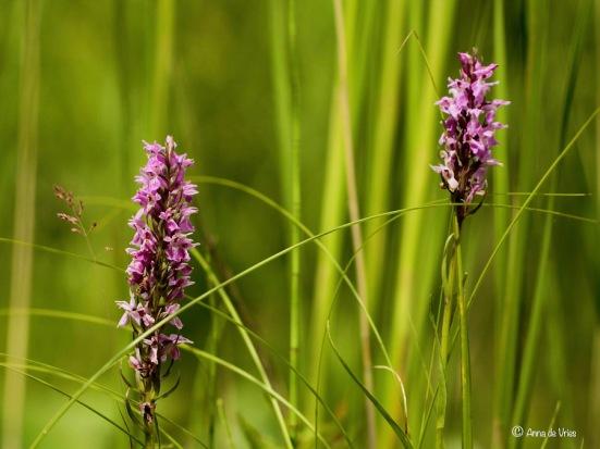 Uitgezaaide Gevlekte rietorchis tussen Kleine lisdodde (Typha angustifolia)