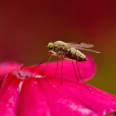 Geelpootschubsnipvlieg - Chrysopilus asiliformis ♀
