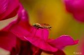 Geelpootschubsnipvlieg - Chrysopilus asiliformis ♂