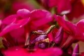 Geelpootschubsnipvlieg - Chrysopilus asiliformis ♂ en ♀