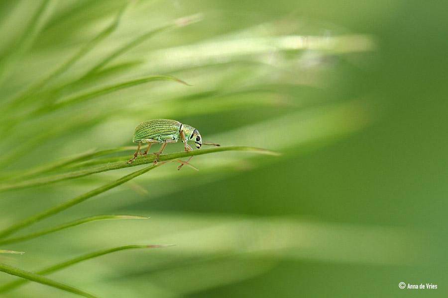 Groene snuitkever.IMG_2408