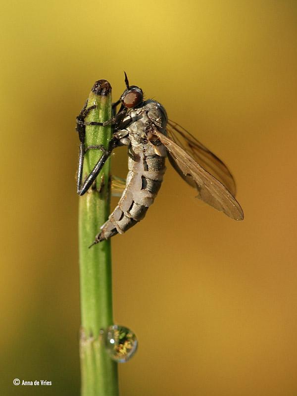 Grote dansvlieg vs. Entomophthora. IMG_2123