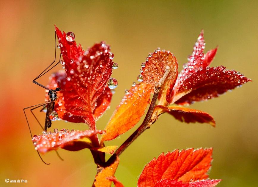 Langpootmug - Tipula paludosa