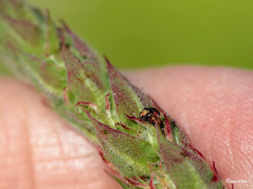 Dwerg-kattenstaartsnuitkevers