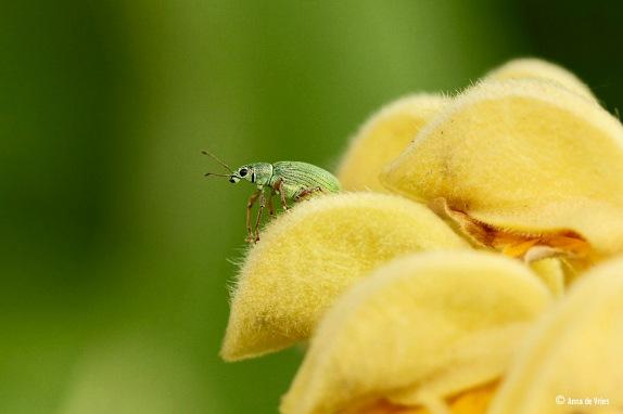 Groene bladsnuitkever - Phyllobius pomaceus