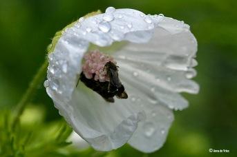Klokjesbijen schuilen in een bloem van de Malva