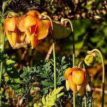 Sarracenia hybrids