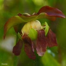 Sarracenia Maroon