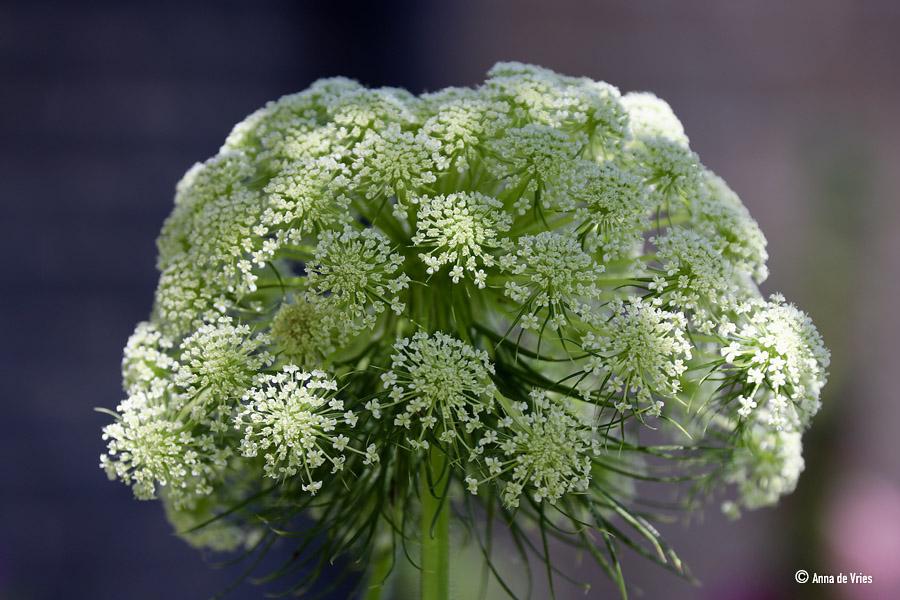 Bloem van een winterwortel