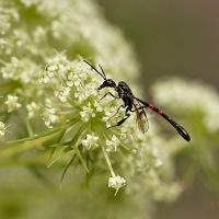 Hongerwespen - Gasteruptiidae