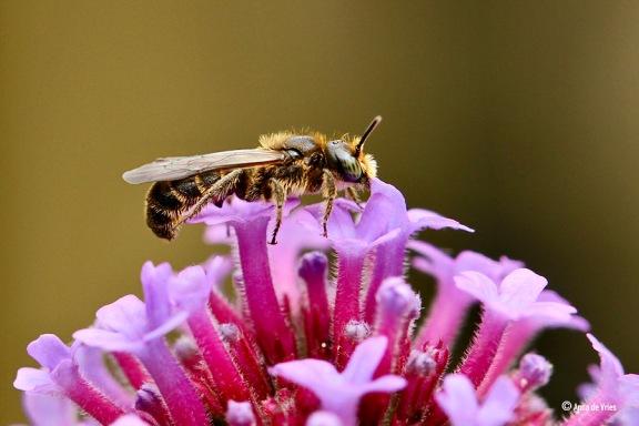 Snoepende Grote klokjesbij (Chelostoma rapunculi) van de Verbena bonariensis.