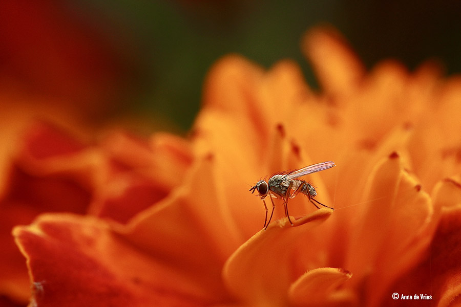Bloemvlieg bezoekt een Afrikaantje - Tagetes