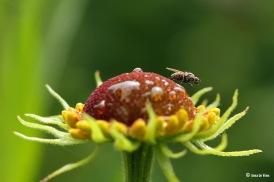 Bloemvlieg - Tribus Hydrophoriini