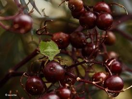 Groene stinkwants - Palomena prasina