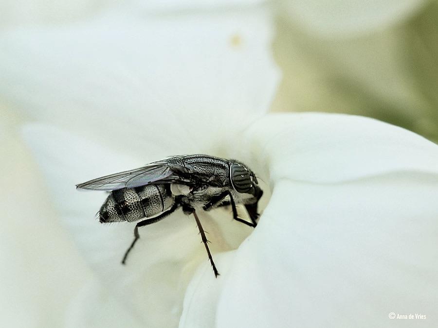 Sprinkhaanvlieg (vrouw) - Stomorhina lunata