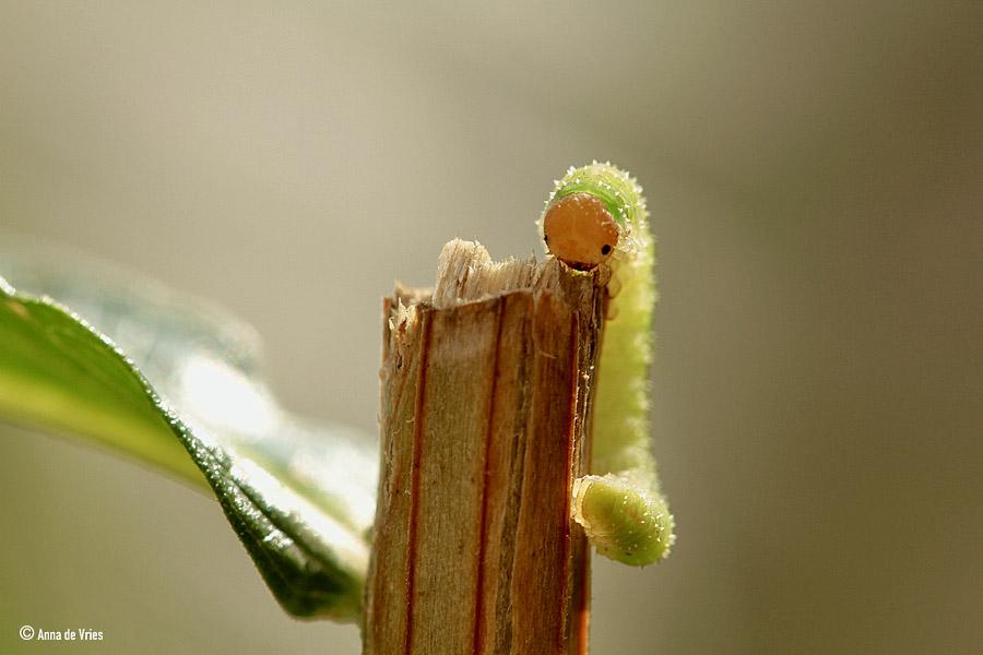 Rozenbladwesplarve - Allantus sp