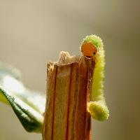 Bladwesplarve - Allantus sp.