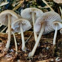 Helmmycena - Mycena galericulata